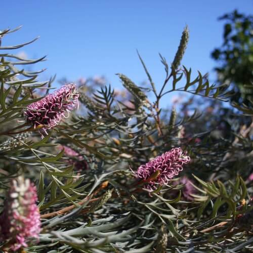 Grevillea's are blooming!